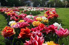 Tulpen Plants, Jewelry, Tulips, Jewlery, Jewerly, Schmuck, Jewels, Plant, Jewelery