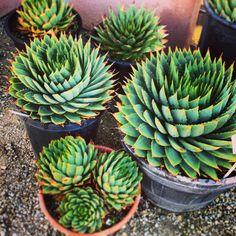 Succulent Gardens  Aloe plicatilis