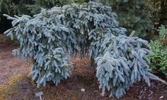 Picea pungens ' The Blues ' Weeping Colorado Blue Spruce Found at Stanley & Sons Nursery on a side sport of a 'Glauca Pendula'. Has to be staked, leaves powder blue. Imagine a weeping Norway Spruce, b