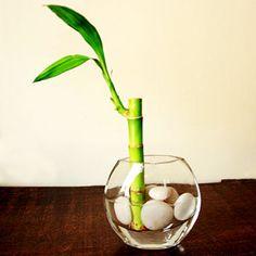 lucky bamboo shoot plant in a vase, lucky bamboo, lucky, bamboo, green lucky bamboo
