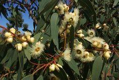 Eucalyptus cosmophylla in flower in the Australian Garden. Grows to 10m as a single trunk for or to 5 m as a multi-stem mallee form. Photographer: Rodger Elliot.
