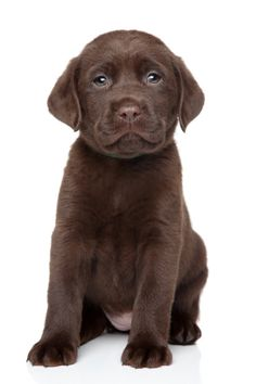 The Chocolate labrador puppies are charming dogs that make great pets. Apart from being cheerful, these labradors are faithful plus loving animals which have personalities fit for all age groups, that include very young children. Baby Dogs, Pet Dogs, Pets, Cute Little Puppies, Cute Puppies, Chocolate Lab Puppies, Chocolate Labs, Puppy Sitting, Cute Puppy Pictures