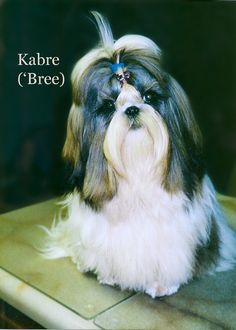 My girl Bree as a baby. #Kabre #Shihtzu
