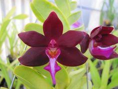 Orchid: Tricoglottis atropurpurea