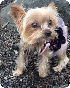 154 Best Yorkies Who Needs A Home
