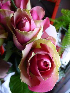 Bouquet de roses bicolores, roses et vertes, fleurs coupées, Paris