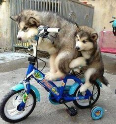 Two Dogs - Riding Bicycle
