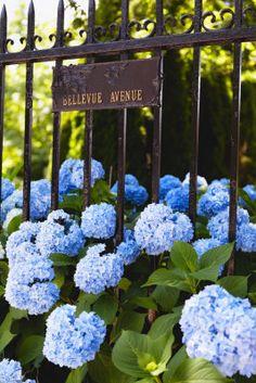 Blue Hydrangeas of Bellevue Ave, Newport, Rhode Island   #VisitRhodeIsland