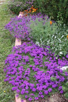 "Tapien blue-violet in foreground; verbena ""Imagination"" in rear"