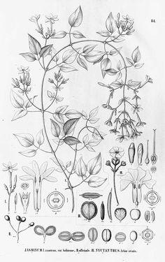 Jasminum officinale/Jasminum grandiflorum (Jasmine)   Heft (1868)