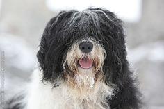 Polish Lowland Sheepdog. Dog Breeds List, Cat Breeds, Polish Lowland Sheepdog, Cat Safe Plants, Saarloos, Herding Cats, Australian Cattle Dog, Warrior Cats, Shelter Dogs