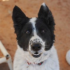 Tiger Woods is available for adoption through Best Friends Animal Society.  Tiger Woods is at the Sanctuary seeking his second chance. Born in 2007, he&#39s a high-energy guy who doesn&#39t do well with other dogs or...