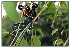 jamelao fruit/ Cereja Preta