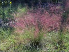 Muhlenbergia capillaris | GULF MUHLY  Hairy-awn muhly or gulf muhly is a 1 1/2-3 ft., perennial grass with a large, airy, much-branched seed head up to half as long as the entire plant. The spikelets are purple. In fall the plant takes on a feathery, deep pink hue.