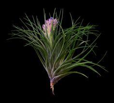Plant Oddities-Tillandsia stricta- 5
