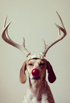 Rudolph the Red Nosed Reindog #Christmas
