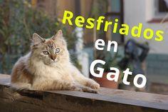 Sintomas de resfriados en gatos que hacer en 5 pasos