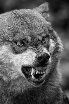 A snarl of displeasure! A Junior has over stepped his boundaries or an unwelcome human needs stronger redirection to leave, effective sooner than later! He will be escorted by the Junior members of the pack and forcefully discouraged from return!!!
