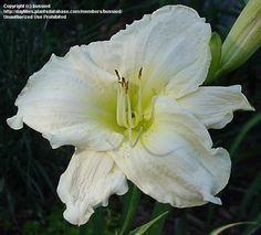 Daylily White Temptation