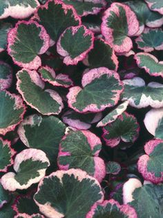 Creeping saxifrage (Saxifraga stolonifera) 'Tricolor'    Mature size: 12 inches tall and wide. Ideal growing conditions: part to full shade; moist, well-drained soil