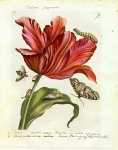 Best Medical & Scientific Illustrators in History Series: Maria Sibylla Merian - Medical Illustrations & Animations by Laura Maaske Medical Illustrator & Animator Science Illustration, Nature Illustration, Floral Illustrations, Medical Illustrations, Vintage Botanical Prints, Botanical Art, Vintage Art, Vintage Botanical Illustration, Arte Naturalista