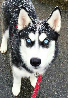Snowy Husky puppy