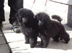 Toy Poodles make everything better :)