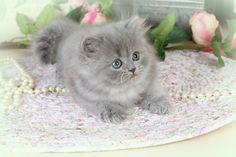 Blue Teacup Persian Kitten