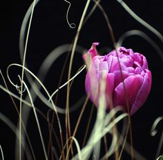 purple dutch tulip, one of my favorites...love the grasses in the foreground of this picture. Amazing shot!