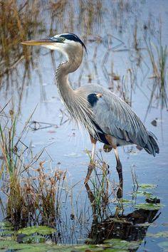 Beautiful Birds, Animals Beautiful, Exotic Birds, Tropical Birds, Photo Animaliere, Image Nature, Bird Drawings, Blue Heron, Big Bird