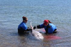Sick Dolphin Euthanized After Seen Swimming Close To North Haven Shore