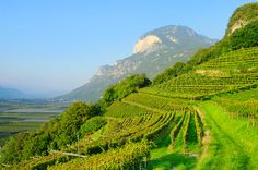 trentino-alto-adige-typical-mountain-vineyard.jpg 1,280×850 pixels
