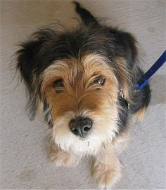 Wirelsh Terrier (Welsh Terrier / Wire Fox Terrier Hybrid) puppy....they make a hybrid? Perfect dog:)