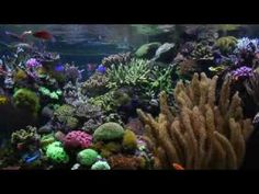 Aquariums - David Saxby's Reef Aquarium (extended version)   He is considered one the best marine aqauriums in his home, in the entire world,.