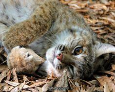 Smalls bobcat has the most incredible amber eyes!