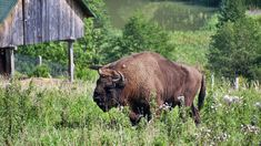 Trofeul regilor Singular, Cow, Animals, Animales, Animaux, Cattle, Animal, Animais
