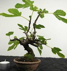 Bonsai Shohin Common Fig, Ficus carica, no. 3792