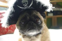 @Kelsey Grimes Pirate pug -- this little pug is so ready to be your pirate :-)