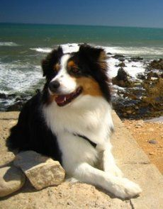 Embraced Australian Shepherd, Ruby. Click to learn the health dangers for this breed.