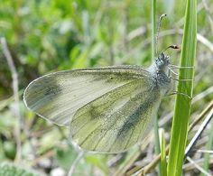 Leptidea sinapis (Linnaeus, 1758) - le farfalle della Puglia