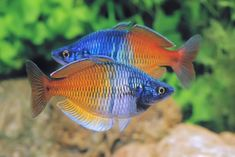 Boesemans Rainbowfish Description: The front half of Melanotaenia boesemani's body is blue, and the back half is yellow-orange. In some specimens, you may also see a stripe or two of silver-black scales.