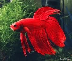 Live Tropical Aquarium Siamese Fighting Fish Betta Community Tank Red Blue