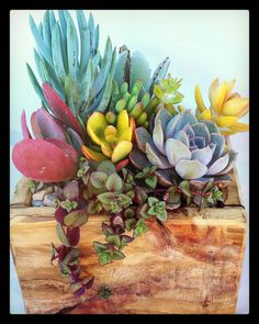 #succulent #succulents #succulove #succulentobsession #containergarden #garden #gardening #droughttolerant #succulentsofinstagram #succulentaddict #succulentsucculents #suckerforsucculents #succulentcrazy #succulentobsessed #succulentjunkie #pottedsucculents #airgifts #palletplanter #pallet #pallets #handmade #homemade #australianmade #reclaimed #reclaimedwood #recycled #upcycled