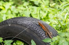 Red lizard sitting on an old tire in the jungle – CreativityGems