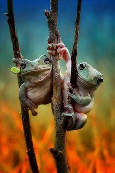 """Sembrano tenersi per """"mano"""" le due rane arrampicate sul ramo di un albero in Indonesia e in posa per farsi fotografare. Questi simpatici anfibi hanno catturato l'attenzione del fotografo 26enne Yusri Harisandi che li ha immortalati nei suoi scatti in un momento di intimità  FOTO &co"""