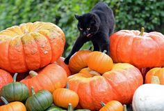 Sept. 10, 2013 It's more than a month from Halloween, but a black cat is caught strolling about a pile of pumpkins at a farm near Potsdam, Germany