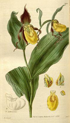 lady slipper orchid botanical print