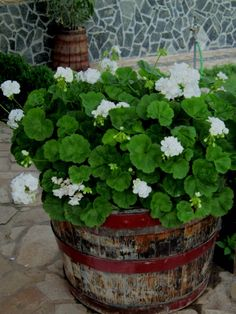 AugustaGarden/Old (or made specially for this purpose) wood wine barrel is a country-style container for flowers - like this beautiful pelagronium with lush green foliage. To protect the wood and to make it look noble and aged, use those special waxes for wooden furniture.