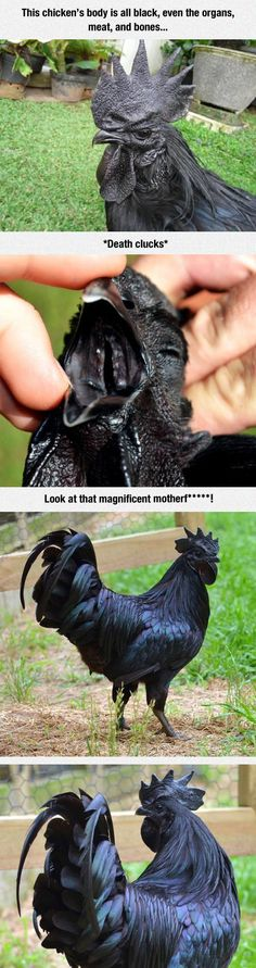 Meet the Kadaknath, the most metal chicken ever.