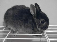 Dwarf rabbit.... I want this little guy so bad!